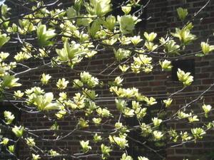 Yellow_magnolia