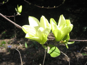 Yellow_magnolia_closeup