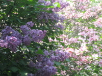 Lilac_and_dogwood
