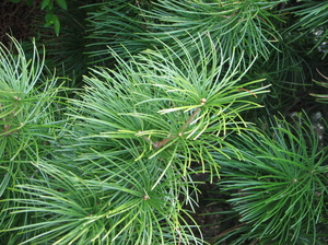 12umbrella_pine