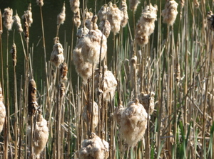 19cattails