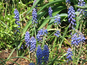 6grape_hyacinth
