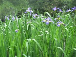 Blue_flag_iris