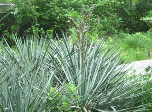 Yucca_blooming