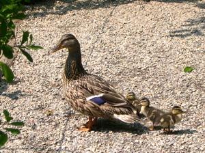 Ducks_on_path