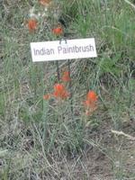 Indian_paintbrush