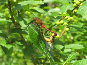 Dragonflies_mating