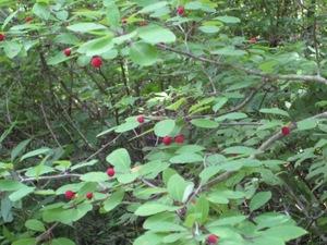 Mountain_cranberry_2