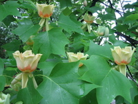 Tulip_tree_branch_1