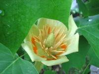Tulip_tree_looking_in