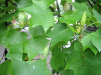 Tulip_tree_stages