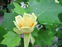 Tulip_tree_typical_flower