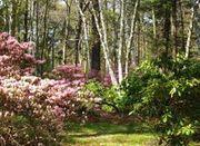250pxcase_estates_weston_ma__rhododendro