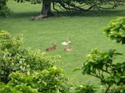Culzean_deer_park