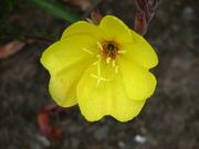 Culzean_flower_3