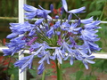 Culzean_flower_5