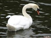 Culzean_swan